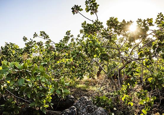 Piantagione di pistacchi